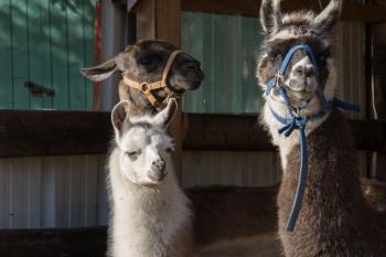 Nos lamas Kuzco et Ica, ainsi que Maya leur bébé née ici même