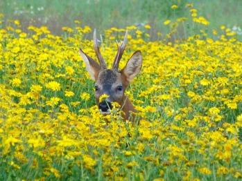 Deer in Daisies