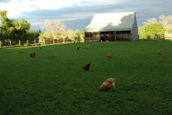 Chickens free-range in the pasture