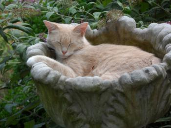 Spare, the Guard Cat, asleep on the job in a Planter by the Patio