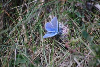 Portland Blue Butterfly