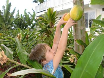 Picking Papayas for Breakfast in Our Garden