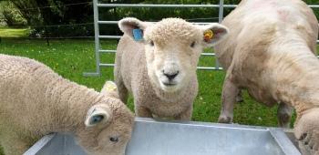 Ryland Sheep at Tregoose