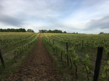 Chateau Masburel - Vineyard