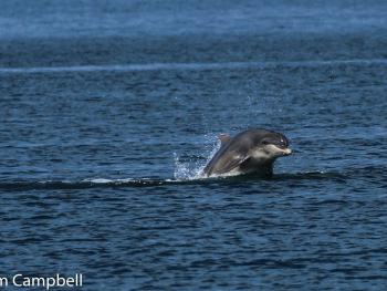 dolphins in Buckie harbour area taken by Graham , a guest , 26/5/2017