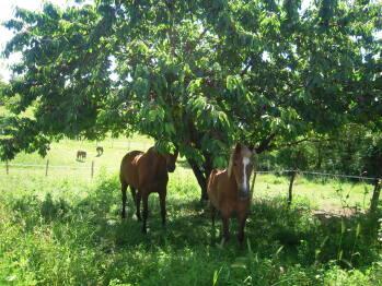 Les chevaux dans les prés