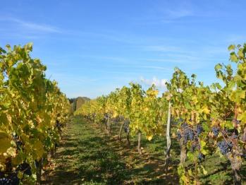 La Pénesais entourée par les vignes du chinonais