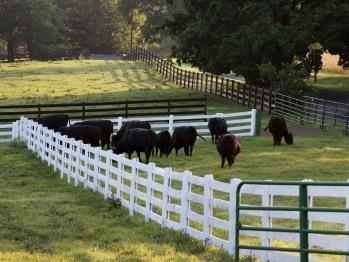 Angus grazing