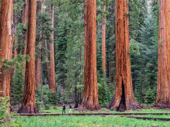 Giant Sequoias in the park!