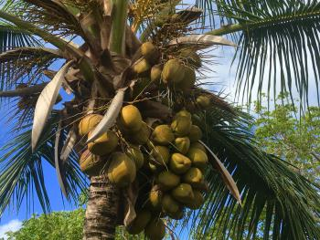 One of the many coconut tress on our property.
