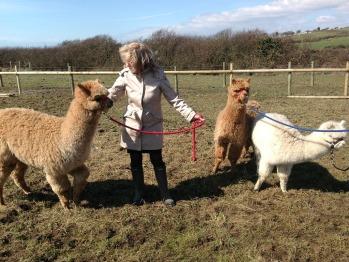 Gorgeous Alpacas Kim, Barney & Angus