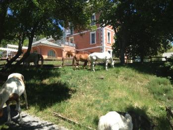 Chevaux et poneys en liberté