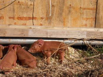 Everyone loves feeding the sows with their piglets.