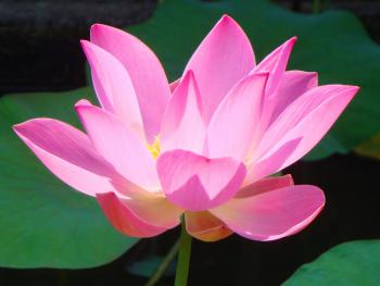 Lotus Flower in Villa Coy Pond