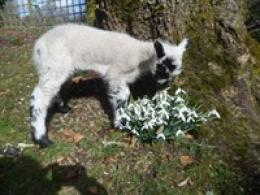 Spring Has Sprung - The Lambs are Here!!!