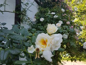 Rosenblüte Einfahrt