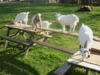 our own pygmy goats