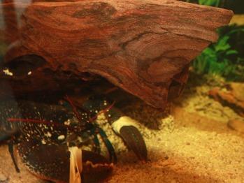 Le vivier à homards