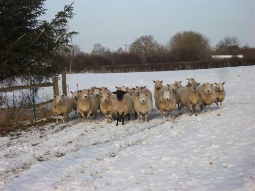 Sheep in the snow!