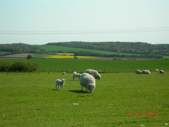 Sheep in adjacent field to Two Hoots Campsite