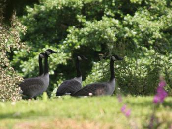 Canadian Geese at Pen-y-Bryn House