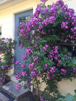 Our roses showing full splender