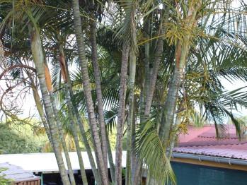 Palmier multipliant du Domaine