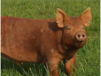 Our Tamworth pigs are raised on pasture.