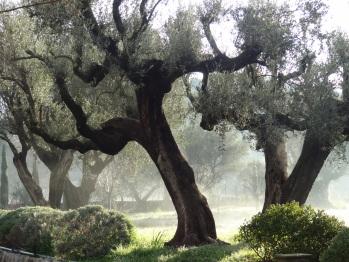 Les oliviers du jardin
