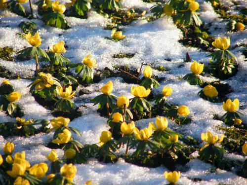 Aconites in the snow - Glebe House