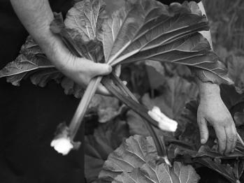 Fresh Garden Rhubarb