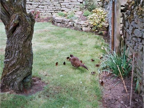 Wild pheasant chicks