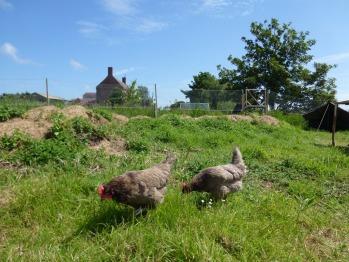 Happy chickens make yummy eggs