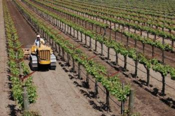 Ed Salvestrin working the vineyard.