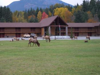 Our local Elk visiting the Cowlitz River Lodge