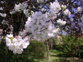 Cerisiers en fleurs dans le jardin