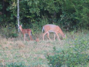 Hermann South Bed & Breakfast, Mother Deer and Fawn by Woods