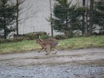 Mountain Hare at Thistle Dhu B&B