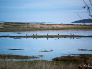 Herons at high tide - from the garden