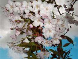Cherry Blossom in May