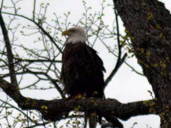 There are two Eagles that keep watch over the lodge and this guy likes to hang close.