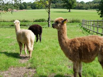 Alpacas as neighbours at Wooladon Estate!
