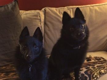 Gali et Mayah, les mascottes de l'Albiziane, 2 petites chiennes Schipperke