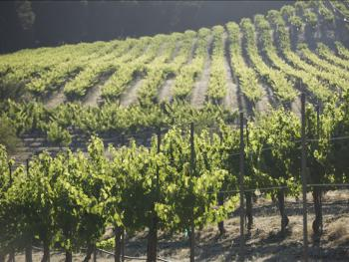 Merlot vineyard views.