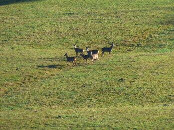Chevreuils sauvages dans les près du Domaine