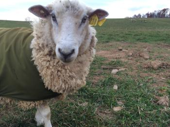 The Coopworth sheep wear blankets to keep their luscious fleece clean.