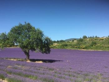 champ de Lavandes en Provence