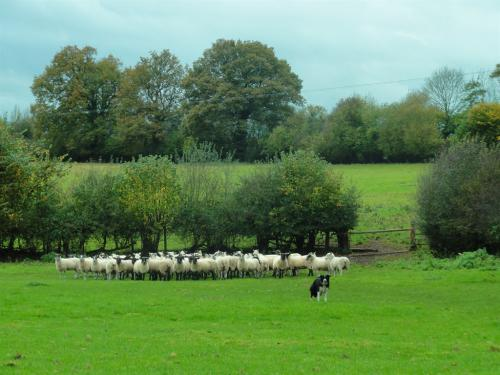 Gathering up the sheep