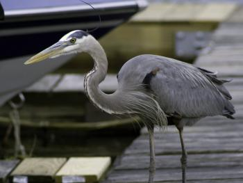 Blue Heron on the docks