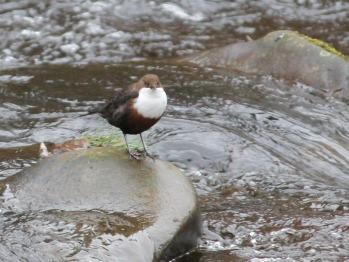 Dipper looking for dinner on the River Livet